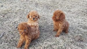 Our Red AKC Toy Poodle Puppies