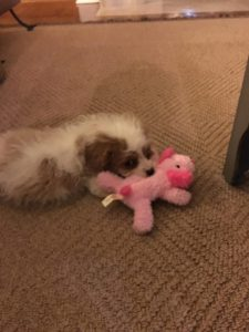 Two Cavapoo Girls In New Home In Kansas! (Pictures + Video)