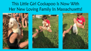 This Cockapoo Girl Is Now In Massachusetts!