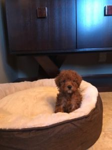 "Red Toy Girl Toy Poodle ""Osage"" In Illinois!"