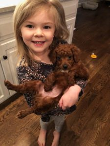 Little Red Toy Poodle In His New Home In Kansas!