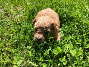 Maltipoo Litter Pictures From Izzie & Ollie May 2019