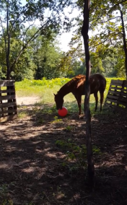FUNNY horse Houdini plays with big ball – Circle C Ranch