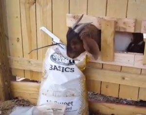 Just A Goat & A Bag Of Feed…..