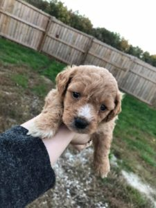 Maltipoo Puppies Litter 2019