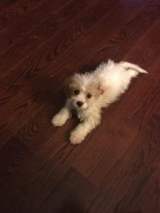 Cavapoo Girl – Thanks To The Janoff Family!