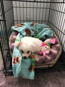 Cute Little Maltipoo Girl Now In Illinois! (With Video)