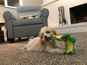 Bentley The Cavapoo Playing In His New Home In Colorado (VIDEO)