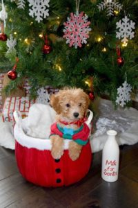 """Rawlings"" The Maltipoo Went To His New Home In Nebraska!"