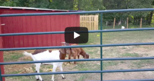 Massey, Clyde & Bonnie – The 3 Trouble Making Goats!