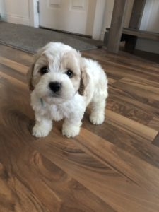 Cockapoo's From Cloie & Taz! Spring 2019