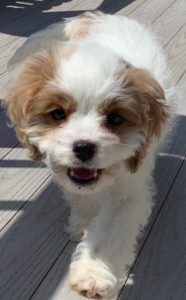 """Lucy"" The Cavapoo!"