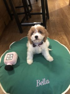 """Bella"" The Cavapoo In Her New Home In Chicago!"