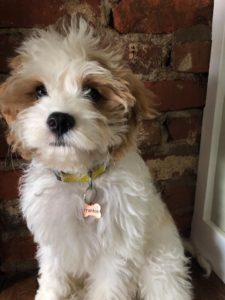 """Frankie"" The Cavapoo Now In His New Home!"