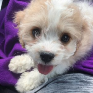 """Waffles"" the cavapoo now in his home in Denver!"
