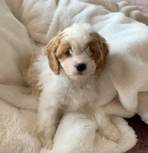 """Junie"" the cavapoo in her new home"