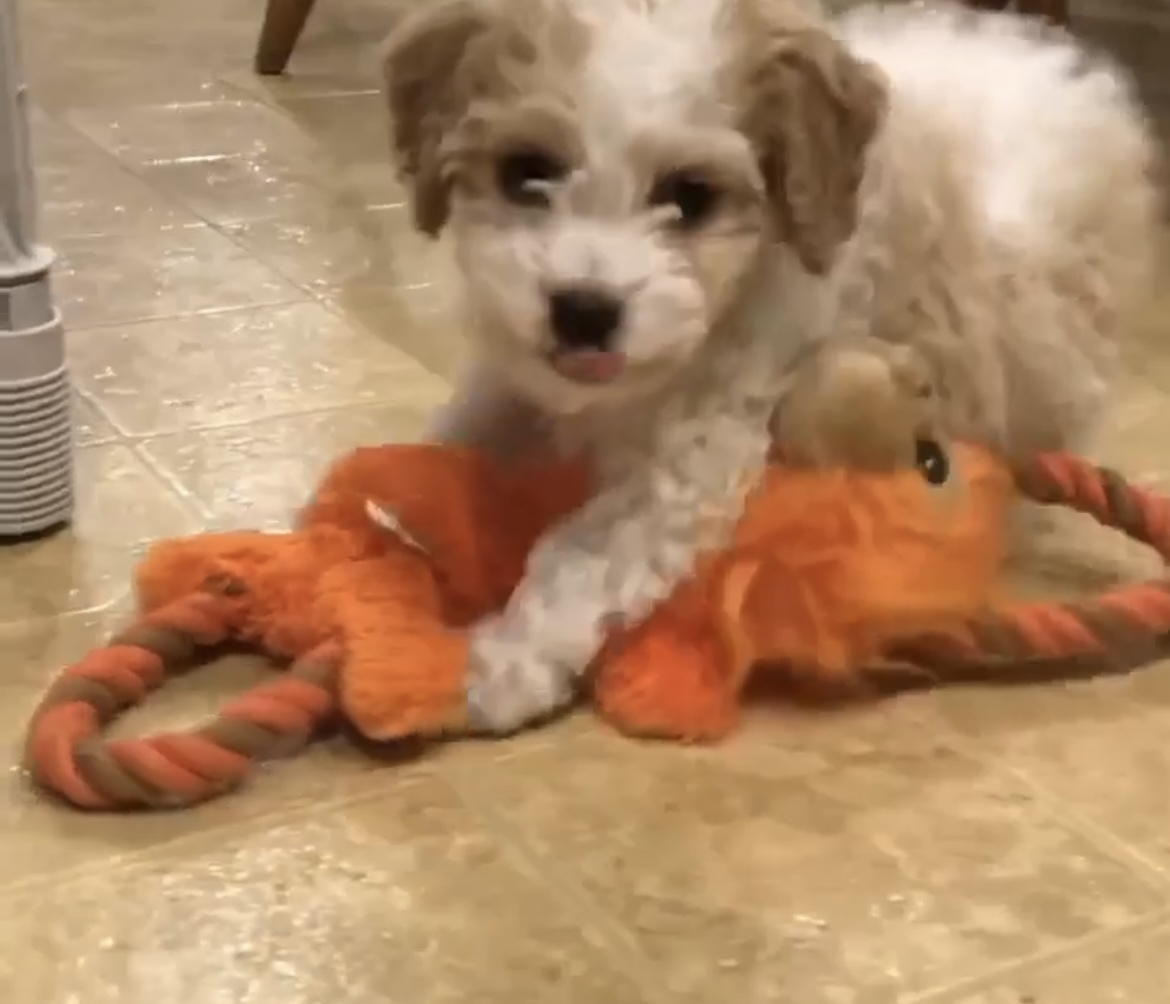 Adorable Cavapoo Puppy Playing