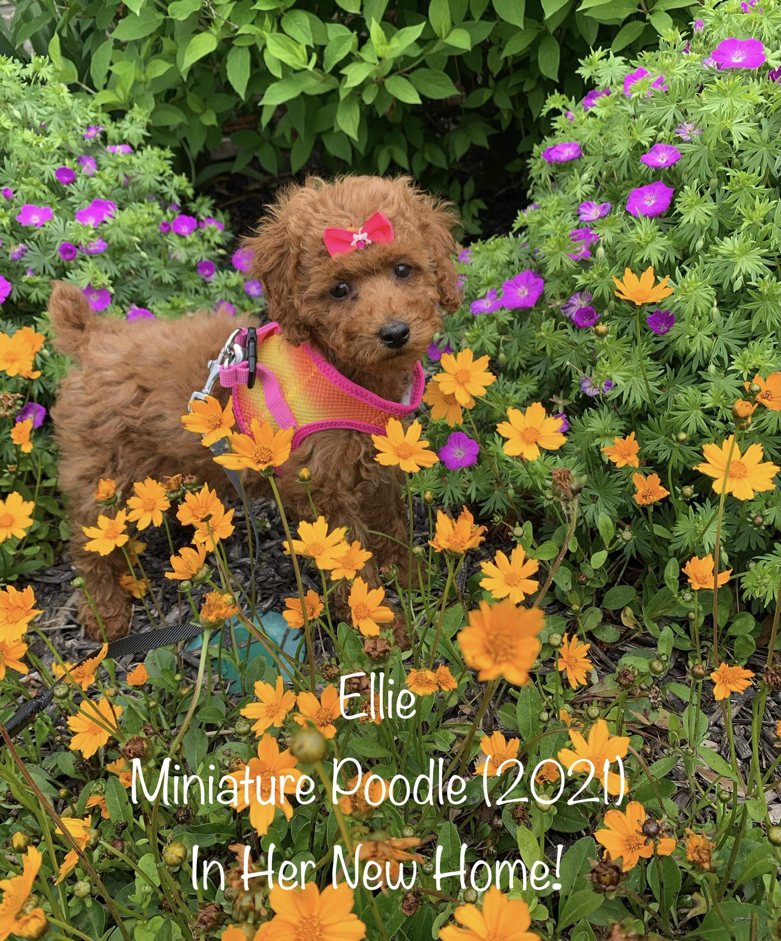 Ellie (Miniature Poodle) In Her New Home!