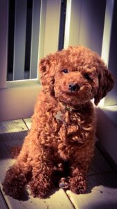 Milo (toy poodle) in new home